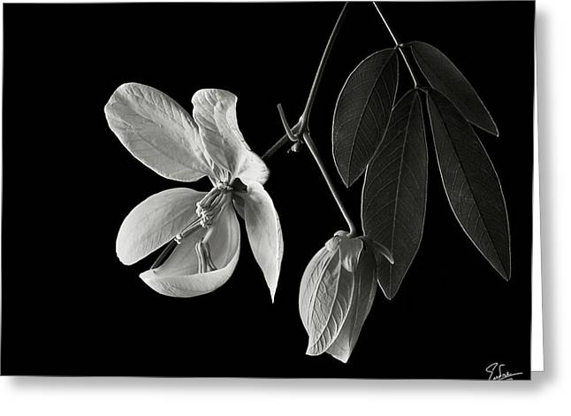 Flower Photos Greeting Cards - Golden Wonder Senna in Black and White Greeting Card by Endre Balogh