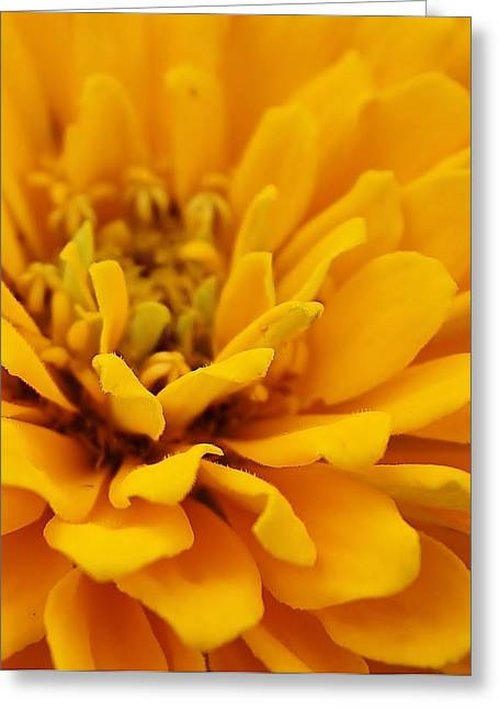 Zinna Greeting Cards - Golden Yellow Burst Greeting Card by Bruce Bley