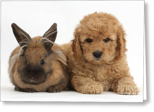 Goldendoodle Greeting Cards - Goldendoodle Puppy And Rabbit Greeting Card by Mark Taylor