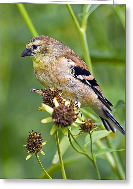 Juvenile Wall Decor Greeting Cards - Goldfinch Juvenile Greeting Card by Dick Jones