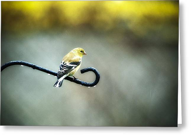Nature Greeting Cards - Goldfinch Perch Greeting Card by Frank Iusi