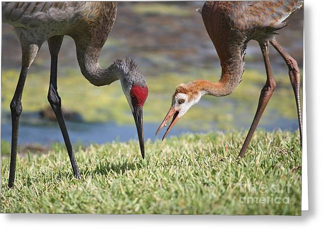 Feeding Birds Photographs Greeting Cards - Good Catch Greeting Card by Carol Groenen