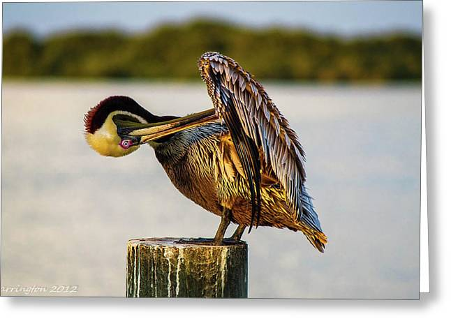 Gooming Pelican Ll Greeting Card by Shannon Harrington