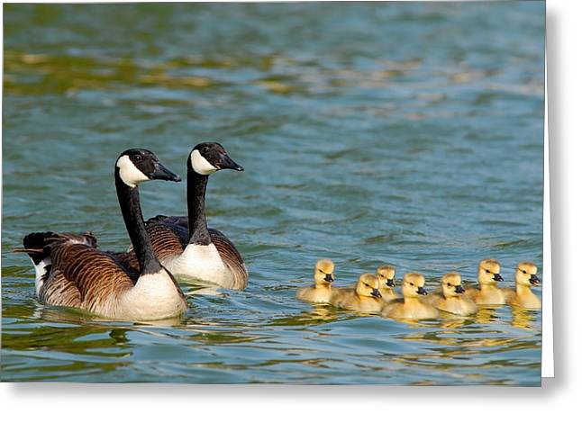 Geese Family Greeting Cards - Goose family Greeting Card by Dung Ma