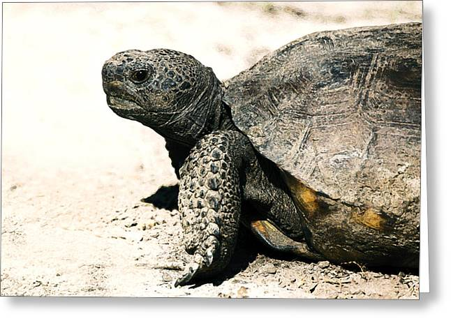 Turtle Shell Greeting Cards - Gopher Tortoise Portrait Greeting Card by Rebecca Brittain
