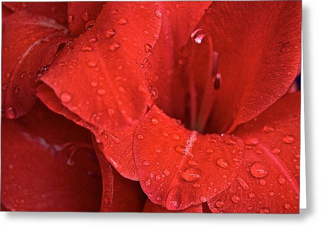 Gorgeous Glads Greeting Card by Susan Herber