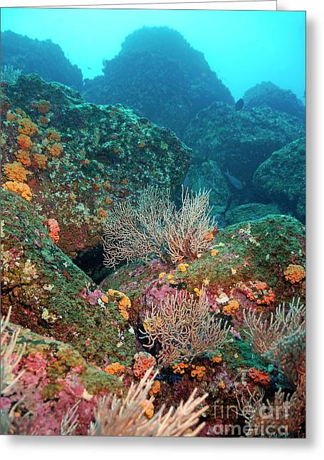 Wolves In Nature Greeting Cards - Gorgonian fans and Cup Coral on rocky seabed Greeting Card by Sami Sarkis