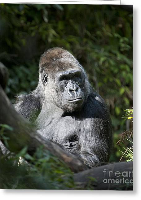 Frowning Greeting Cards - Gorilla Greeting Card by Chris Dutton