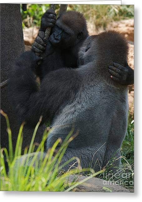 African Saint Greeting Cards - Gorilla Embrace Greeting Card by Chris  Brewington Photography LLC