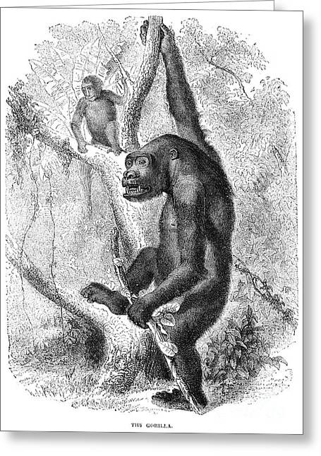 Gorilla Greeting Card by Granger
