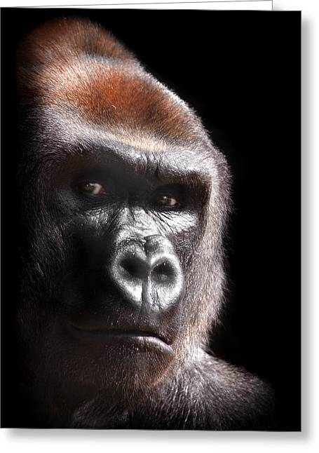 """animal Photographs"" Greeting Cards - Gorilla ... Kouillou Greeting Card by Stephie Butler"