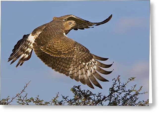 Hawks In Flight Greeting Cards - Goshawk  Greeting Card by Basie Van Zyl