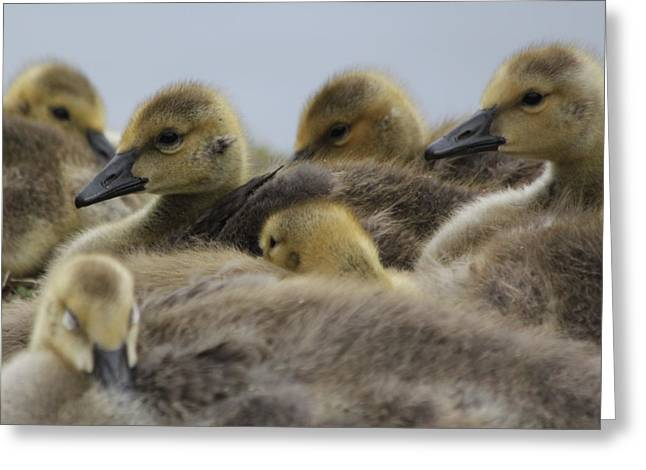 Water Fowl Greeting Cards - Gosling Gaggle Greeting Card by Lauri Novak