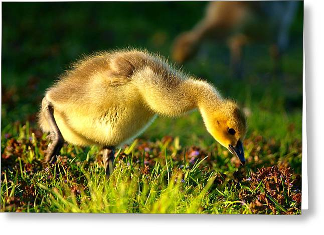 Baby Bird Greeting Cards - Gosling In Spring Greeting Card by Paul Ge