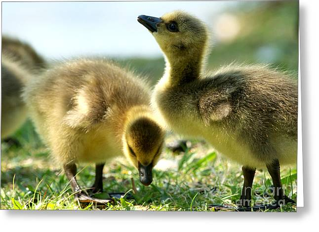Goslings 6 Greeting Card by Sharon Talson