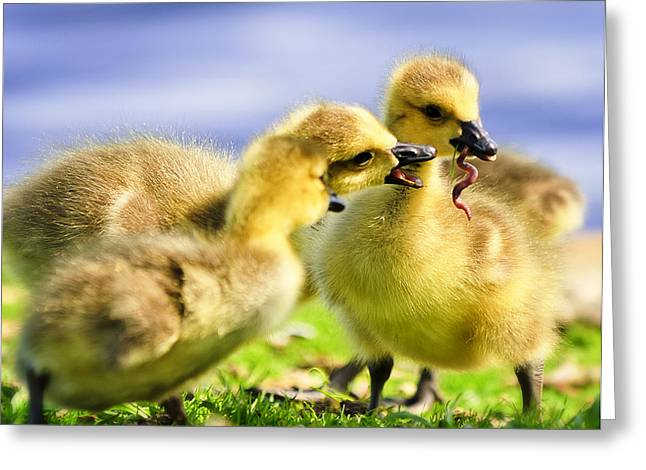 Geese Family Greeting Cards - Goslings and a Worm Greeting Card by Vicki Jauron
