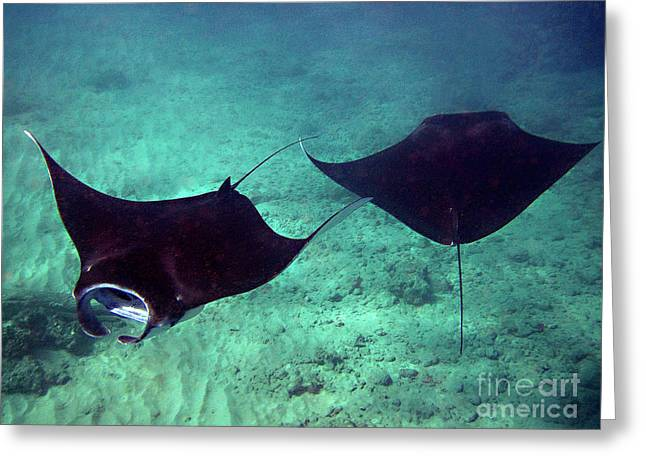 Manta Rays Greeting Cards - Graceful Dancers Greeting Card by Bette Phelan