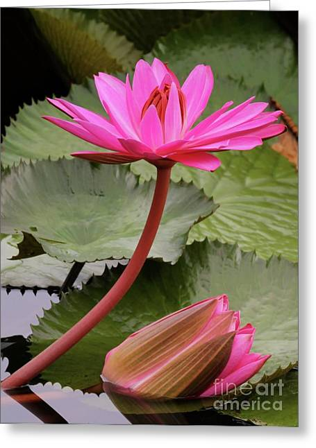 Graceful Lotus Greeting Cards - Graceful Water Lilies Greeting Card by Sabrina L Ryan
