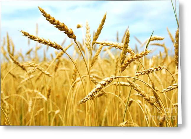 Field Greeting Cards - Grain field Greeting Card by Elena Elisseeva