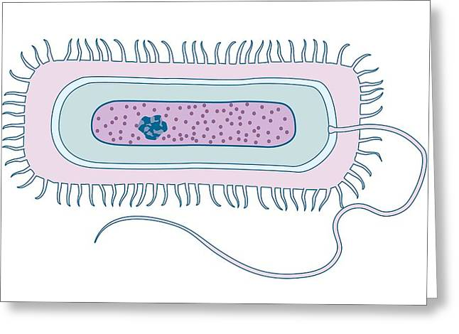 Gram-negative Greeting Cards - Gram-negative Bacteria, Artwork Greeting Card by Peter Gardiner