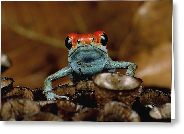 Granular Greeting Cards - Granular Poison Dart Frog Dendrobates Greeting Card by Mark Moffett