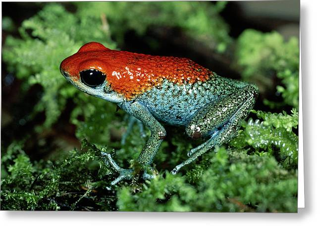 Granular Greeting Cards - Granular Poison Dart Frog Dendrobates Greeting Card by Michael & Patricia Fogden