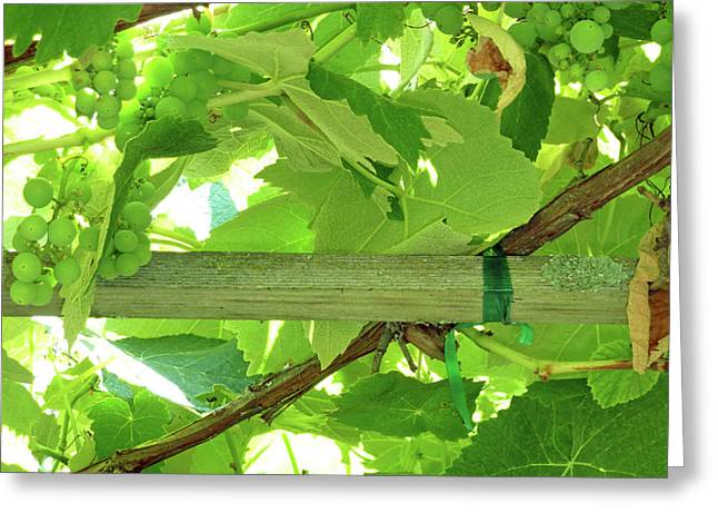 Grape Arbor Greeting Card by Methune Hively