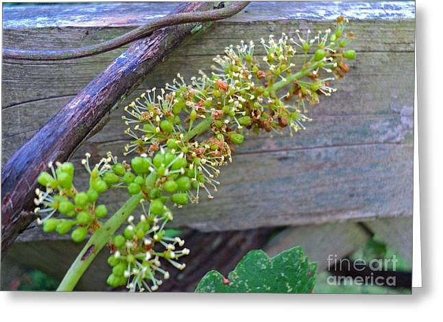 Grape Flowers Blooming Greeting Card by Padre Art