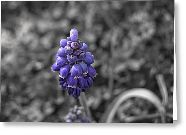 Purple Grapes Greeting Cards - Grape Hyacinth Greeting Card by Amber Flowers