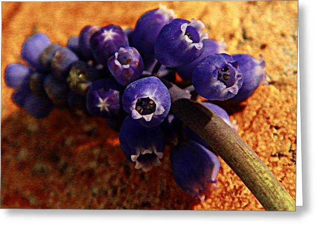 Blue Grapes Greeting Cards - Grape Hyacinth  Greeting Card by Chris Berry