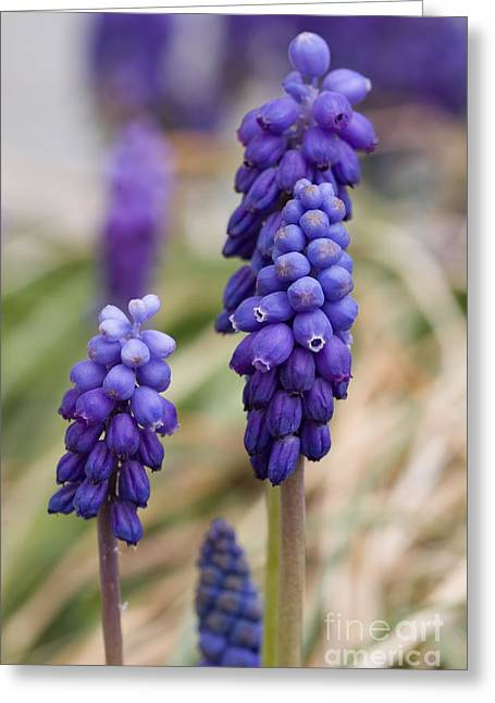Grape Hyacinths Greeting Cards - Grape Hyacinth Greeting Card by Cindy Singleton