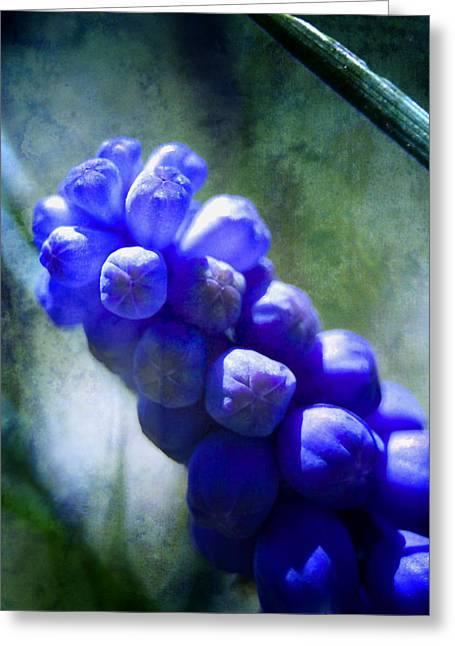 Grape Hyacinths Greeting Cards - Grape Hyacinth Greeting Card by Ellen Heaverlo