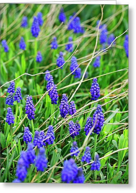 Purple Grapes Greeting Cards - Grape Hyacinth Greeting Card by Marilyn Hunt