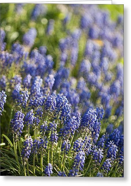 Blue Grapes Greeting Cards - Grape Hyacinth (muscari Armeniacum) Greeting Card by Maria Mosolova