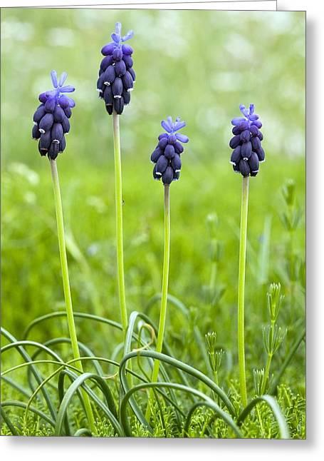 Blue Grapes Greeting Cards - Grape Hyacinth (muscari Botryoides) Greeting Card by Bob Gibbons