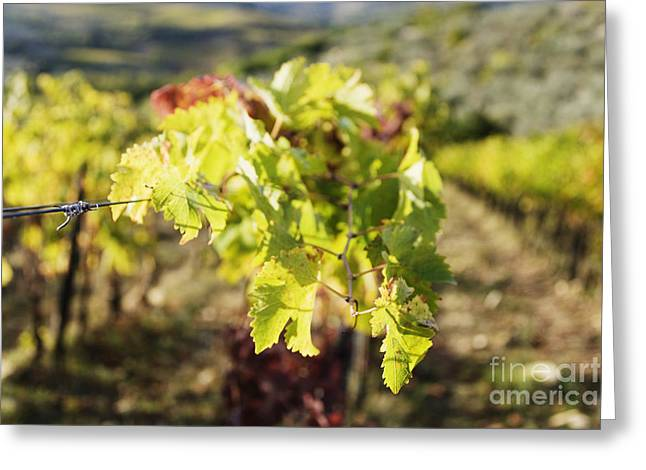 Chianti Greeting Cards - Grape Leaves Greeting Card by Jeremy Woodhouse