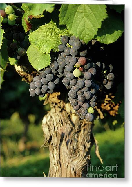 Vine Leaves Greeting Cards - Grape on a vine on vineyards Greeting Card by Sami Sarkis