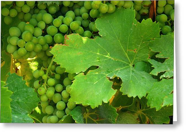Grape Leaf Greeting Cards - Grape Vine Heavy With Green Grapes Greeting Card by Anne Keiser