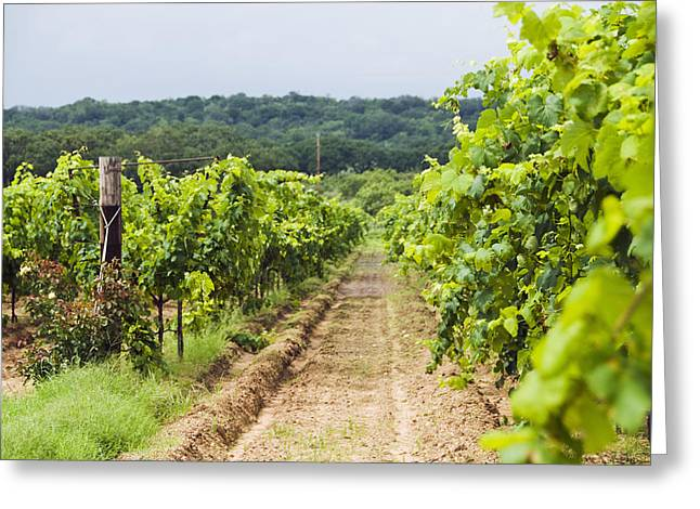 Grape Vines At Fall Creek Vineyards Greeting Card by James Forte