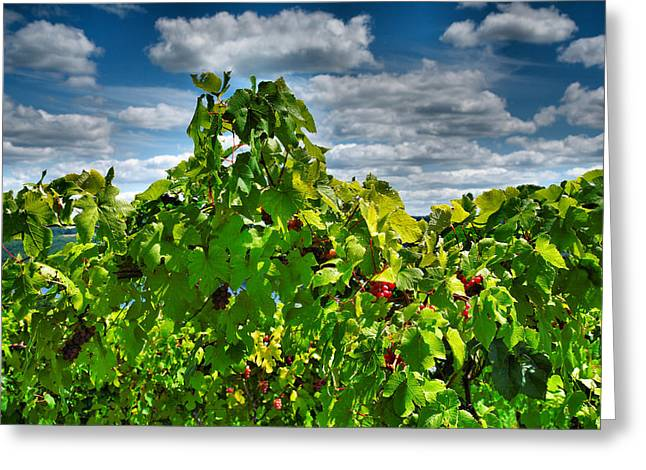 Vineyard Prints Greeting Cards - Grape Vines Up Close Greeting Card by Steven Ainsworth