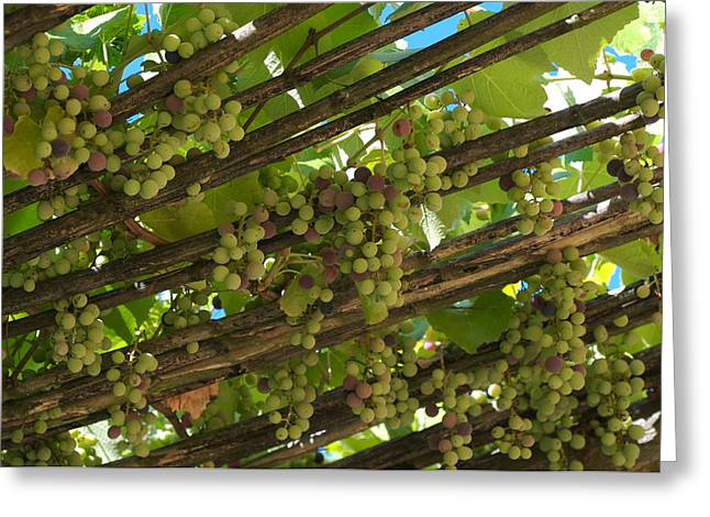 Grapes Grow On Vines Draped Greeting Card by Heather Perry