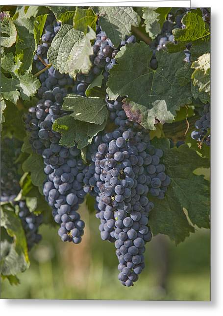 Okanagan Valley Greeting Cards - Grapes Hang On A Vine In Summer Greeting Card by Taylor S. Kennedy