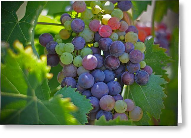Grape Leaf Greeting Cards - Grapes Greeting Card by Kelly Wade