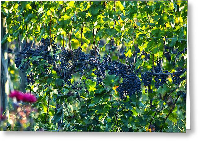 Grape Vines Greeting Cards - Grapes Greeting Card by Mitch Cat