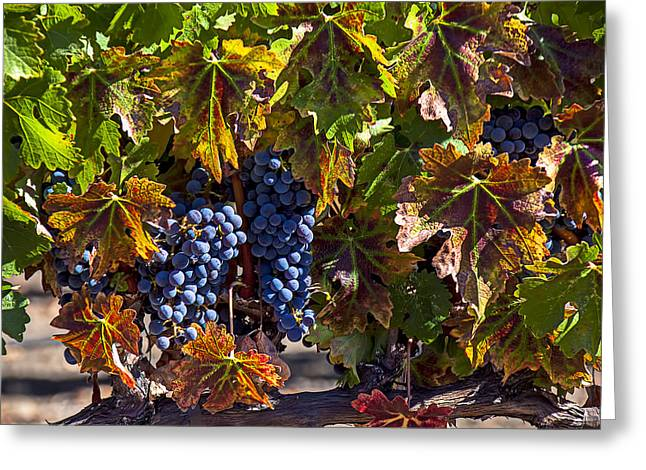 Grape Leaf Greeting Cards - Grapes of the Napa Valley Greeting Card by Garry Gay