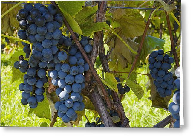 Blue Grapes Greeting Cards - Grapes On A Vine Sutton Junction Quebec Greeting Card by David Chapman