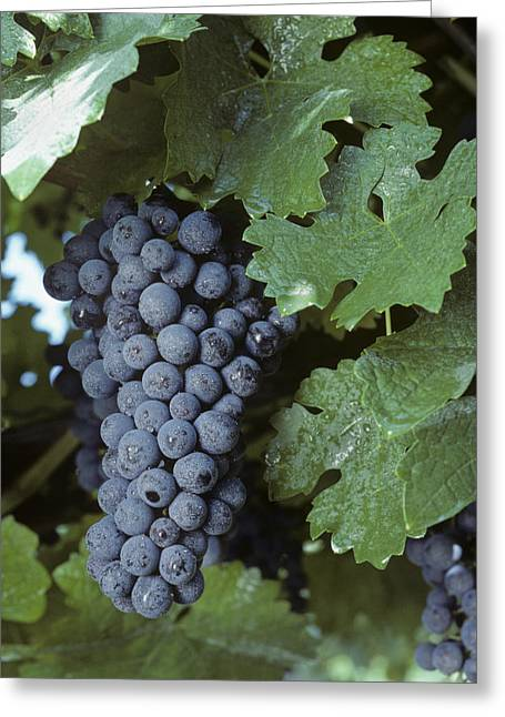 Cabernet Sauvignon Photographs Greeting Cards - Grapes On The Vine Greeting Card by Kenneth Garrett
