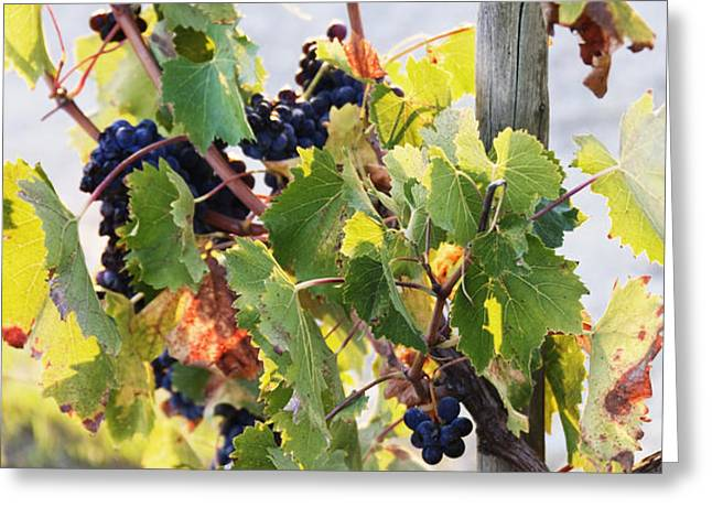 Grapes on Vine Greeting Card by Jeremy Woodhouse