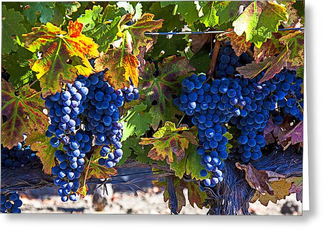 Grapevines Greeting Cards - Grapes ready for harvest Greeting Card by Garry Gay