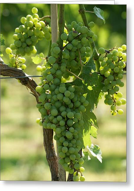 Vintner Greeting Cards - Grapevine Greeting Card by Heidi Poulin